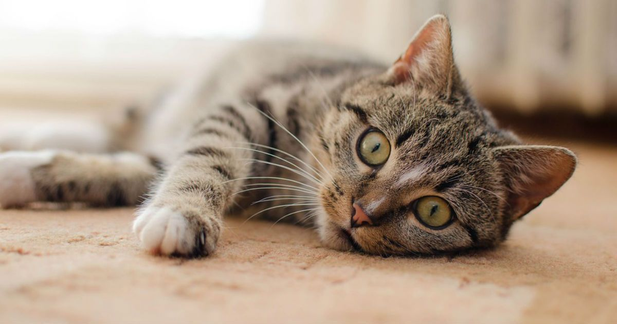 Cat Facts How Long Are Cats In Heat Companion Animal Hospital