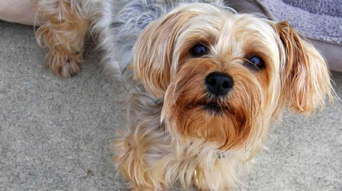 Managing Your Dog's Congestive Heart Failure