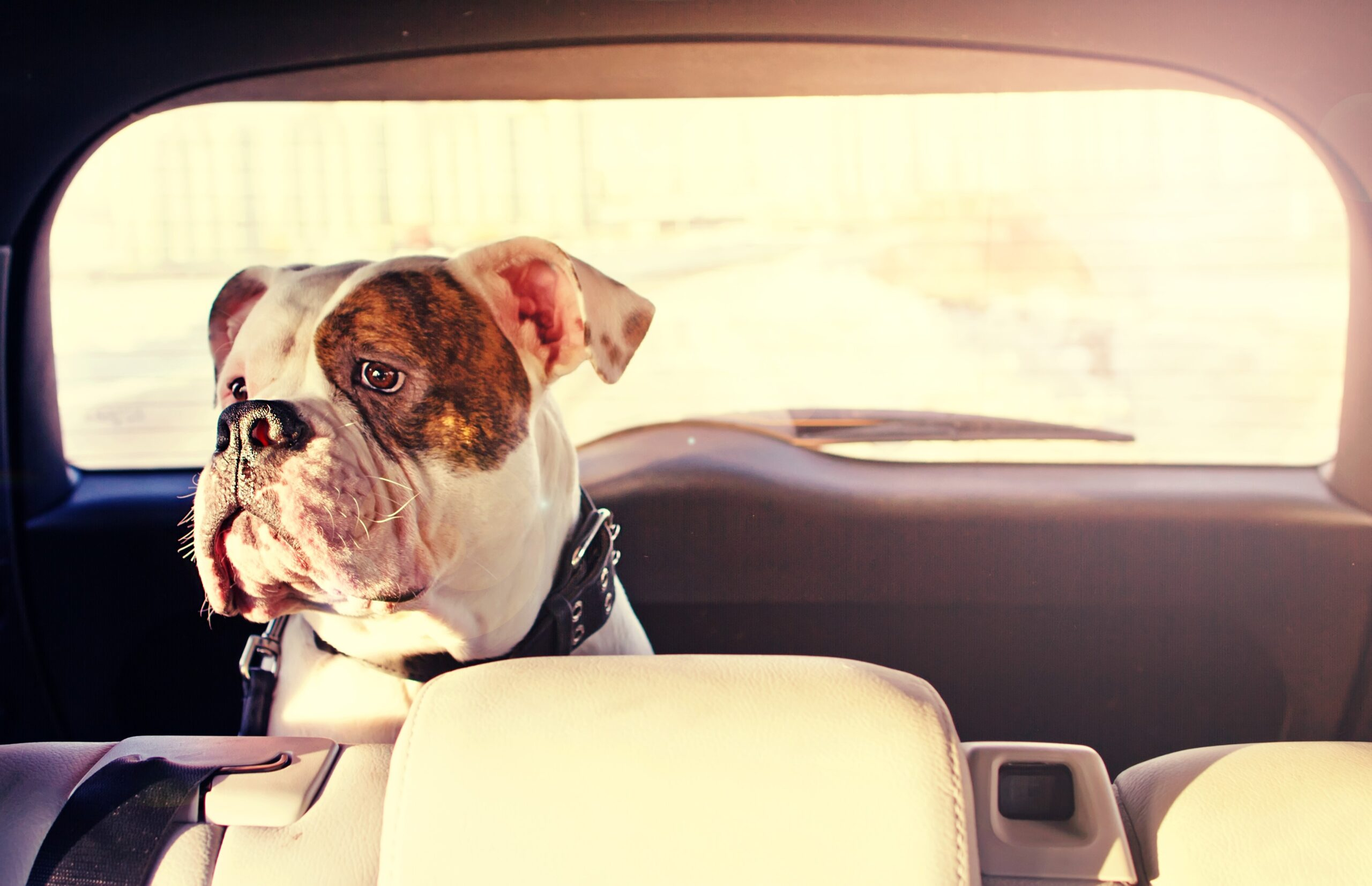 Dog Car Sickness and Motion Sickness